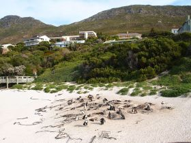 Penguins at Simon's Town. Cape Peninsula Tour